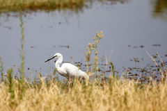 Great White Egret - Okavango Delta, Africa Royalty Free Stock Photography