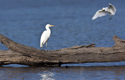 Great White Egret - Okavango Delta - Botswana Stock Images