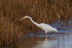 Great white Egret peers into the reeds royalty free stock photography