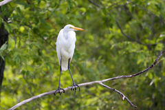 Great White Egret perched in a tree Stock Photos