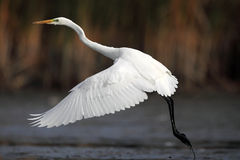 Great White Egret. The picture was taken form a hide in Hungary Stock Photography