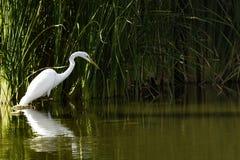 Great White Egret połów w Arizona jeziorze fotografia royalty free