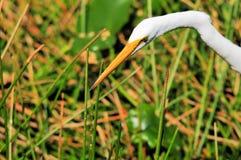 Great white egret portrait Stock Photos