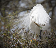 Great White Egret preening stock photography