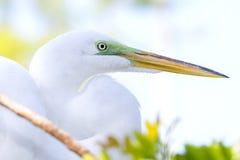 Great White Egret Profile stock image