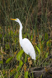 Great White Egret Profile Stock Images