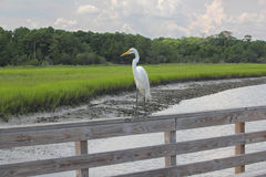 Great White Egret on a Railing Stock Images
