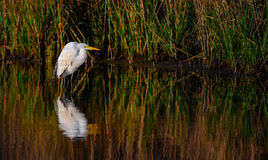 Great White Egret Reflection on Marsh. In morning light Stock Photography