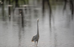 Great White Egret in river Stock Photography