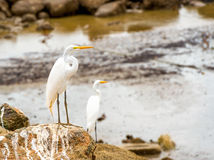 Great white egret on the rock at the ocean Royalty Free Stock Photos