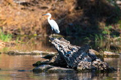 Great white egret in scenic photograph Royalty Free Stock Images