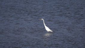 Great White Egret stock video