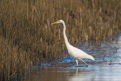 Great White Egret stalking the reeds stock image