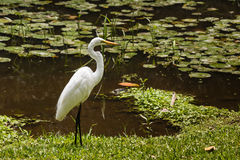 Great white egret searching for food Stock Photo
