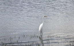 Great white egret, Selous Game Reserve, Tanzania Royalty Free Stock Photography