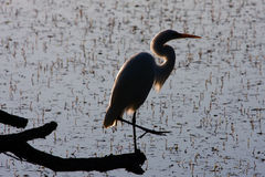 Great White Egret silhouette. Stock Photography
