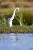 Great white egret sitting at shore of a pond looking for fish Stock Images