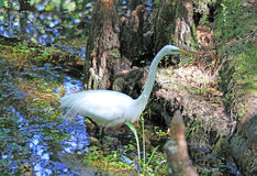 Great White Egret in the Six Mile Cypress Slough Preserve Stock Photos