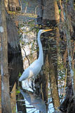 A Great White Egret in the Slough Royalty Free Stock Images