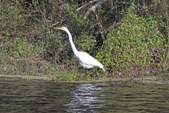 Great White Egret in the Slough Royalty Free Stock Photo