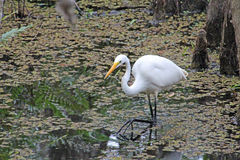 A Great White Egret in the Slough Stock Photo
