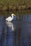 Great white egret with small fish in dutch canal in warm sunligh Royalty Free Stock Photo