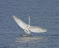 Great White Egret splashdown Stock Photo