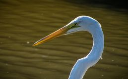 Great White Egret stalks fish nearby. Photo was taken along Egrens Creek, Fernandina Beach, Florida. There are paths to walk along creek where you might just stock photos