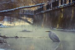 Great white egret standing in a freezing river royalty free stock photography