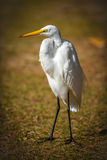 Great White Egret Standing Stock Photography