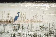 Great white egret standing in shallow river Stock Photos