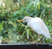 Great White Egret stands Royalty Free Stock Photography