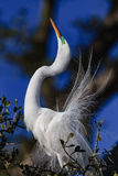 Great white egret stretches in mating dance Stock Photo