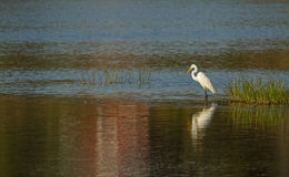 Great White Egret at sunset Stock Image