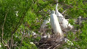Great Egret nest with young chicks. Birds nest. Great white egret takes care of its chicks. Young chicks egret fools in nest. Mother great white egret standing stock video footage