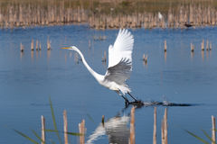 Great White Egret Takes Off From Water And Grass. Stock Photography