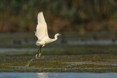Great White Egret taking off Royalty Free Stock Photography