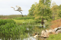 Great White Egret Taking Off From Bank of Lake Stock Images