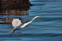 Great White Egret taking off from the Pacific Ocean in Pacific Grove, CA. Stock Images