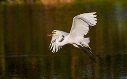 Great white egret taking off, wings spread Stock Photos