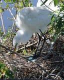 Great White Egret tending blue eggs in nest. Great White Egret Ardea alba tending her beautiful blue eggs in a bird nest Stock Photos