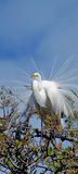 Great White Egret in tree Royalty Free Stock Image