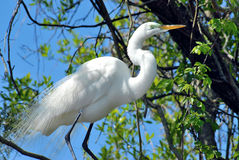 Great White Egret in tree Stock Images