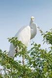 Great White Egret on Tree Ardea Alba Common Egret. Wildlife Birds royalty free stock photos