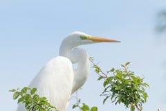 Great White Egret on Tree Ardea Alba Common Egret. Wildlife Birds royalty free stock images