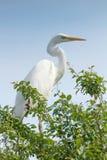 Great White Egret on Tree Ardea Alba Common Egret. Wildlife Birds stock image