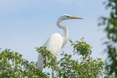 Great White Egret on Tree Ardea Alba Common Egret. Wildlife Birds royalty free stock image