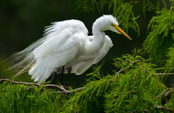 Great White Egret on Tree Stock Images