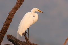 Great (White) Egret in tree Stock Photos