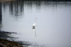 Great White Egret Wades in Bay in the Early Morning Royalty Free Stock Photos